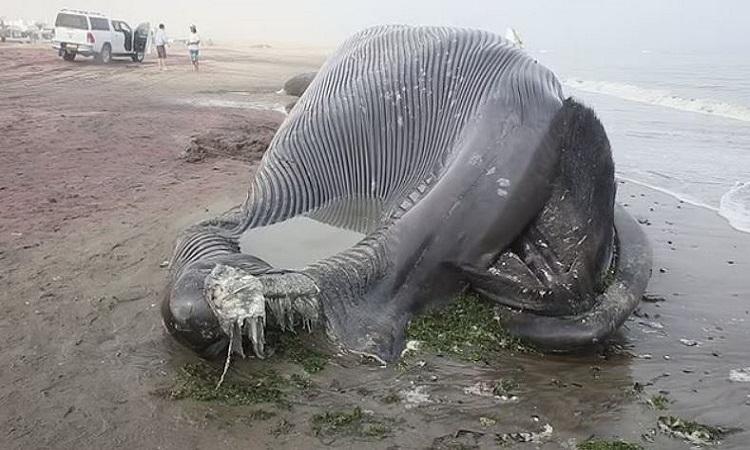 Xác cá voi xanh trên bãi biển. Ảnh: Newsflare.