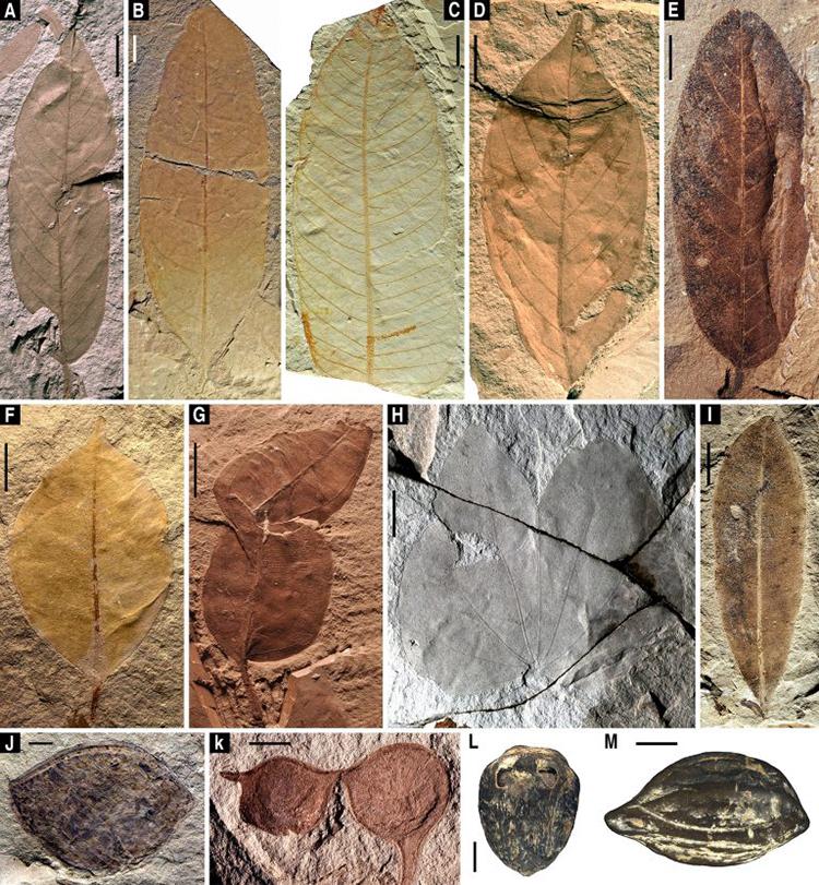 Hóa thạch lá và quả tiết lộ hệ thực vật đa dạng của quần xã sinh vật Zhangpu. Ảnh: NIGPAS.