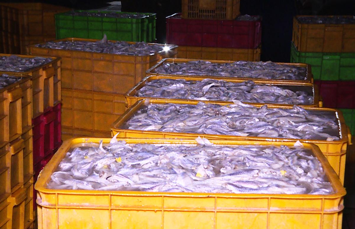 Số cá vừa được ngâm hóa chất Hydrogen peroxide interox ST50. Ảnh: Quang Bình.