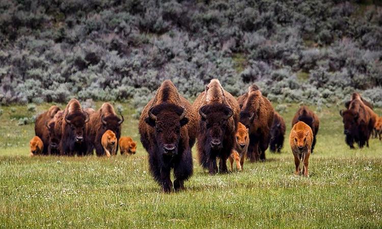 Đàn bò rừng bison trong Công viên Quốc gia Grand Canyon. Ảnh: Canva.