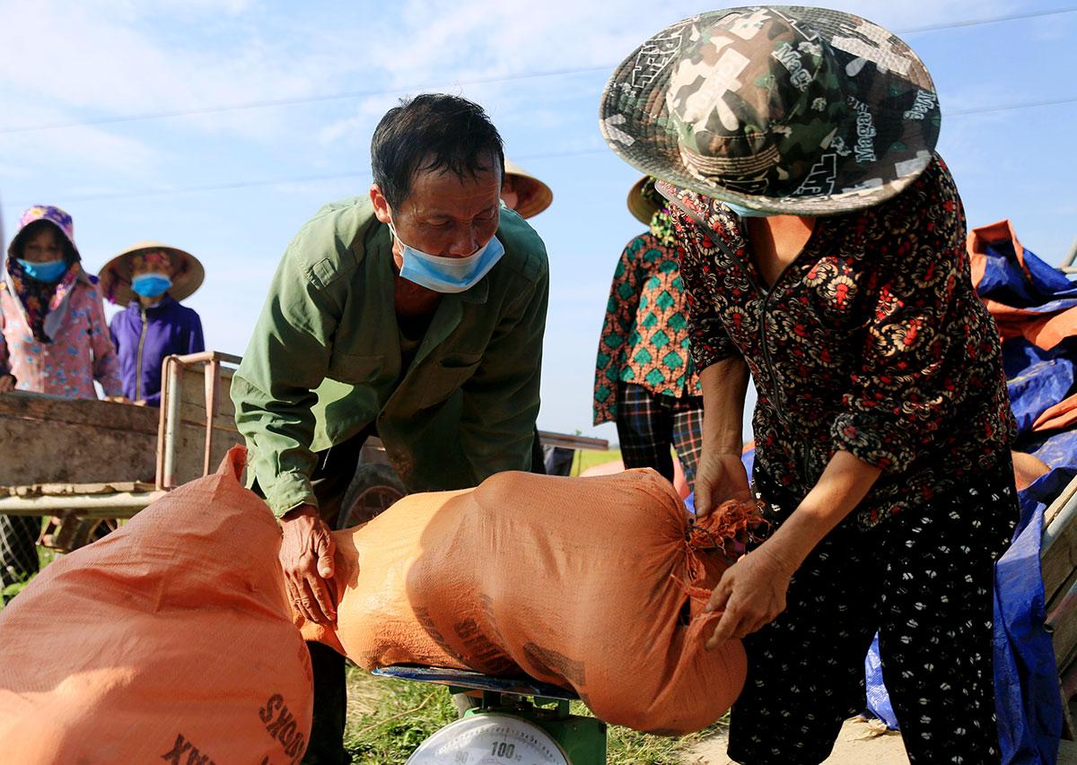 Dưa được cân ngay tại ruộng rồi chở về Hội liên hiệp phụ nữ huyện Thạch Hà tập kết. Ảnh: Đức Hùng