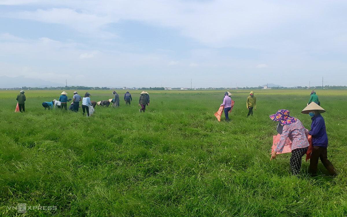Nhiều lực lượng tập trung thu hoạch dưa giúp người dân thôn Việt Yên, chiều 7/5. Ảnh: Đức Hùng