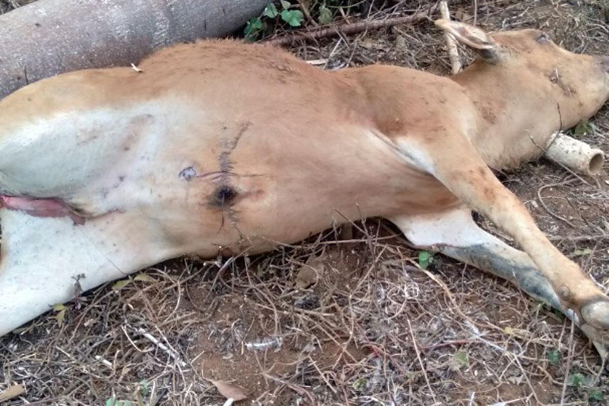 Bò của người dân xã Kon Chiêng đột ngột chết hồi tháng 4. Ảnh: Ngọc Oanh.