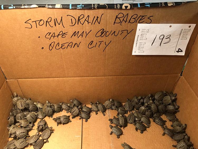 Rùa con được giải cứu dưới cống thoát nước mưa. Ảnh: Đại học Stockton.