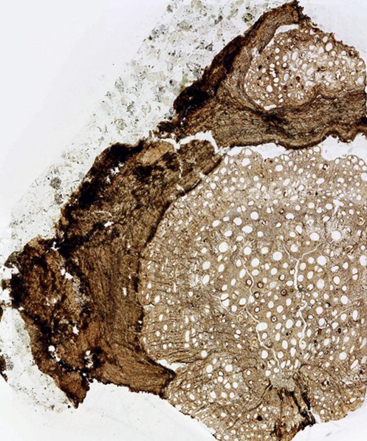 Mặt cắt phần rễ hóa thạch của Ampelorhiza heteroxylon. Ảnh: Nathan Jud.