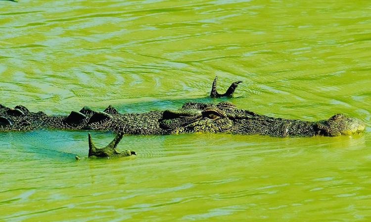 Cá sấu nước mặn xòe tay để cảm nhận cá bơi đến. Ảnh: Indefinite Escape.