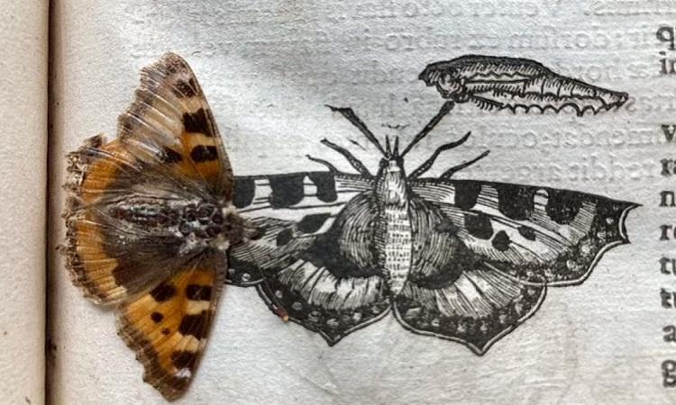 Con bướm ép trong quyển sách 400 năm tuổi. Ảnh: Trinity Hall.