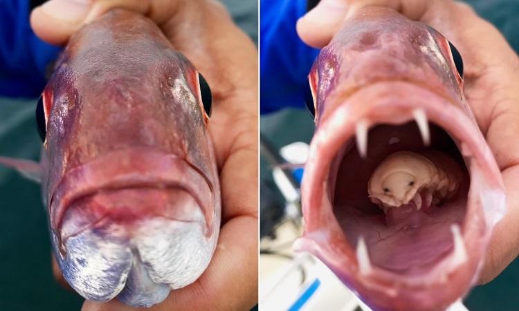 Rận ăn lưỡi thay thế lưỡi cá thợ mộc. Ảnh: Don Marx.