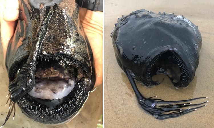 Sinh vật biển kỳ quái chết dạt vào công viên Crystal Cove State ở Mỹ. Ảnh: Daveys Locker.