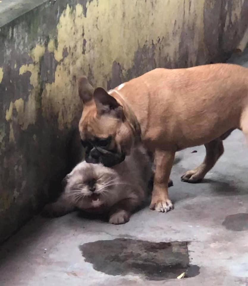 Mèo bị chó cưng đè đầu cưỡi cổ.