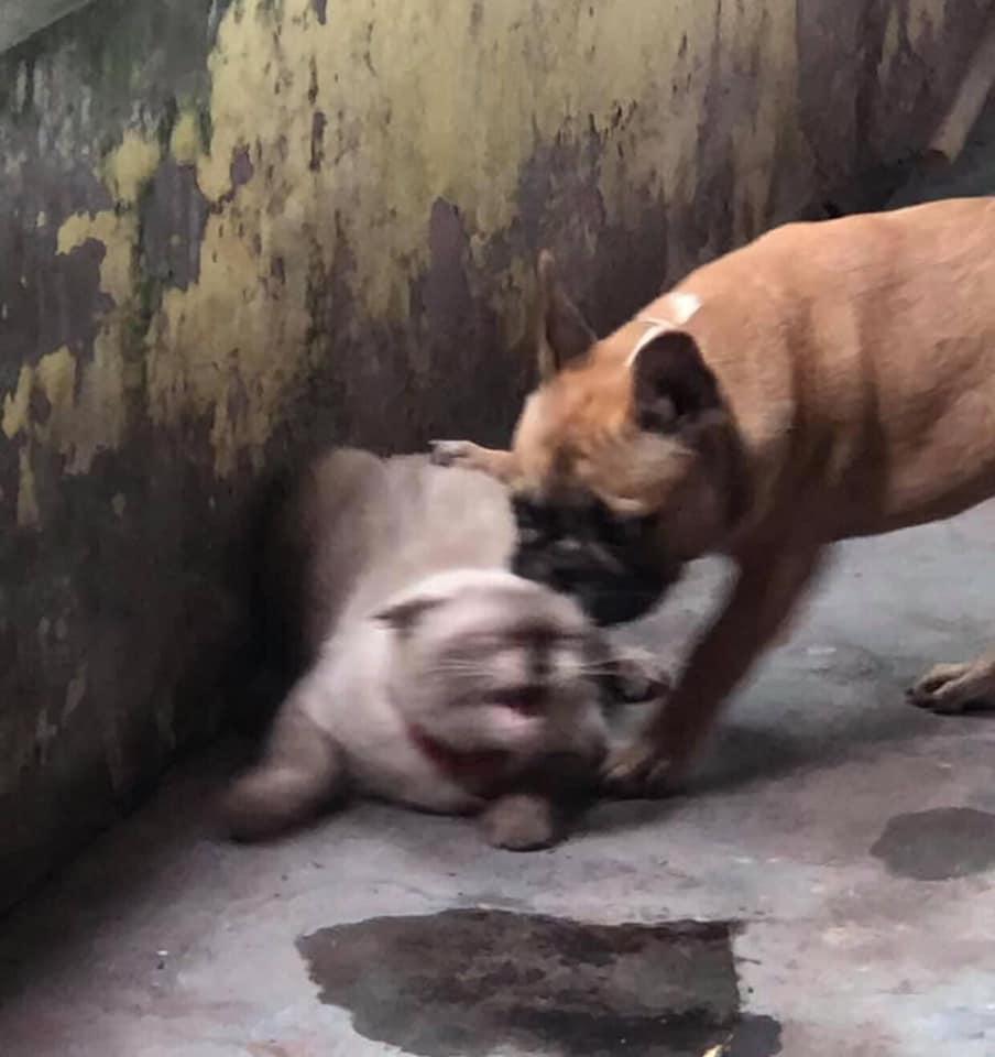 Mèo gào lên khi bị chú chó đánh vào mặt.