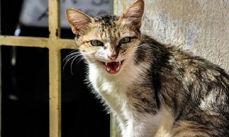 Mèo hoang có thể xua đuổi những con chuột hung dữ trên đường phố Chicago. Ảnh: Getty.
