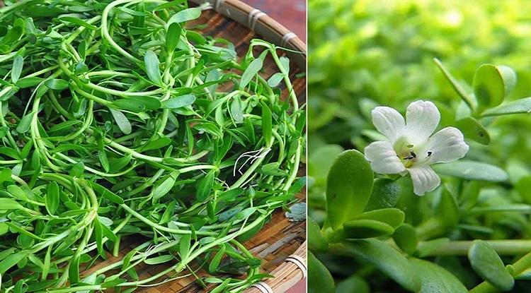 Rau sam trắng là nguồn thức ăn phổ biến ở các tỉnh phía Nam. Ảnh: NVCC.