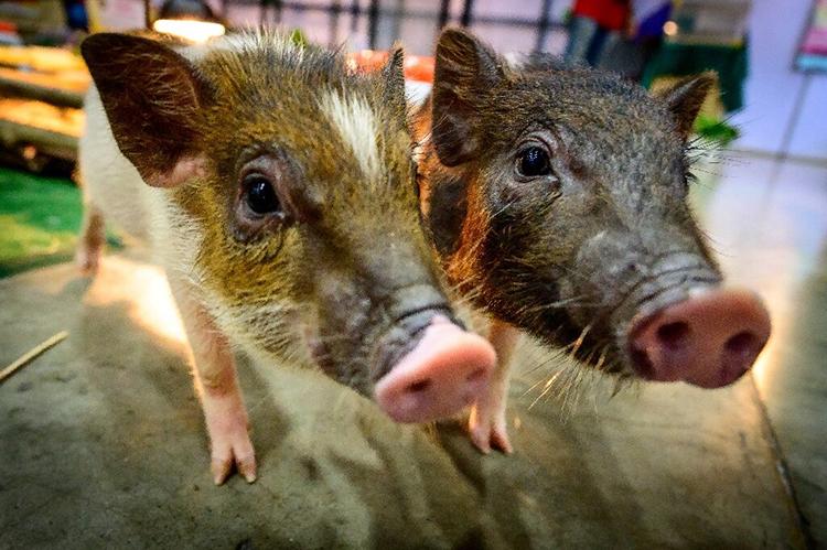 Lợn có khả năng hấp thụ oxy bằng đường ruột. Ảnh: Phys.
