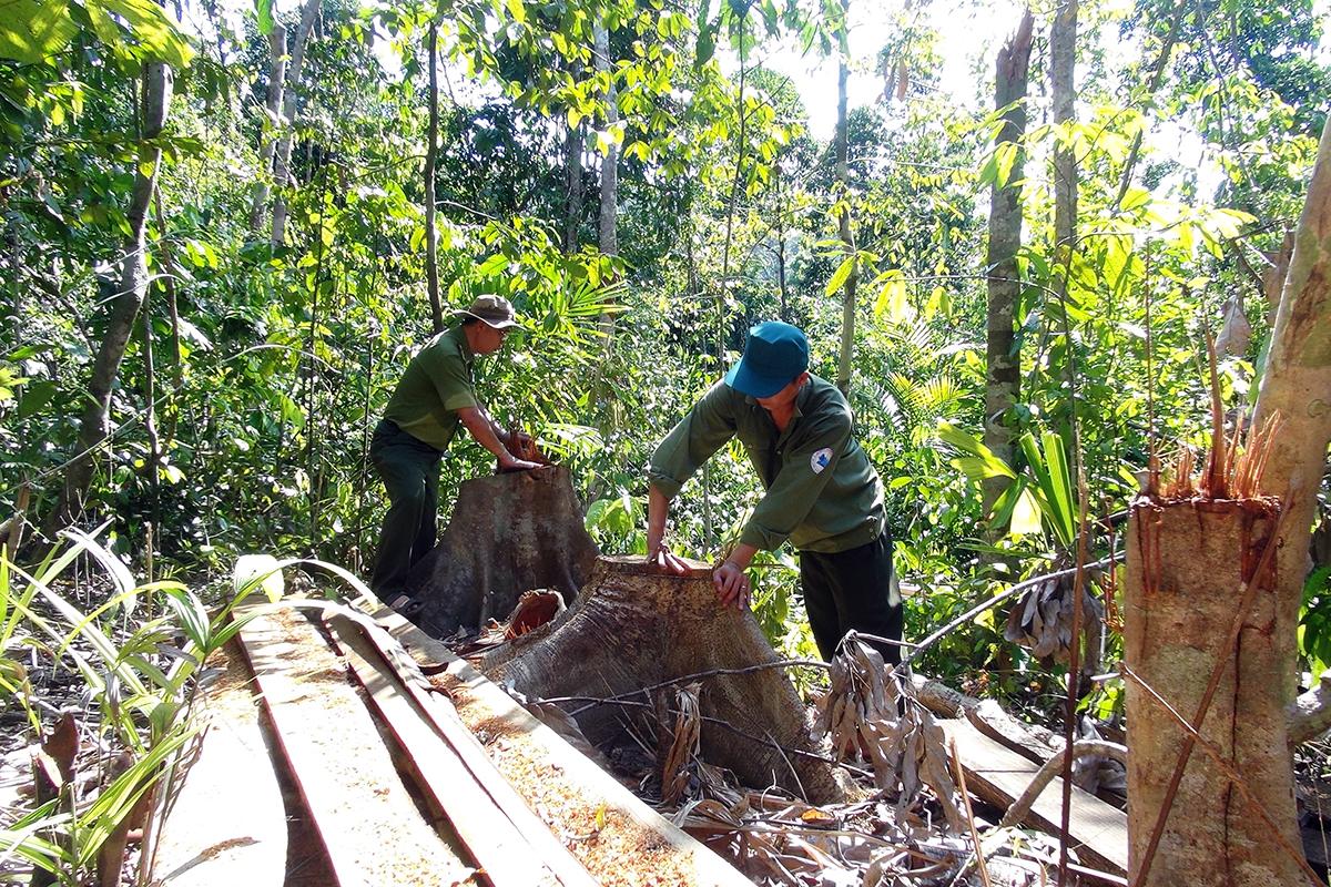 Hiện trường rừng tự nhiên ở Phú Yên bị chặt hạ. Ảnh: An Phước.