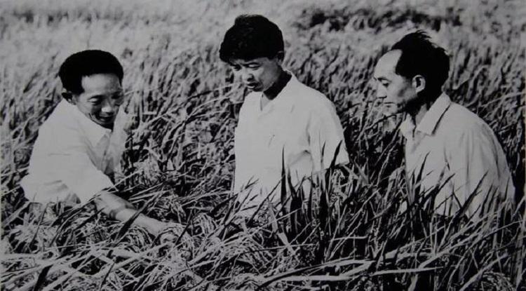 Nhà khoa học Viên Long Bình (bìa trái) đánh giá giống lúa lai đầu tiên. Ảnh: CCTV.