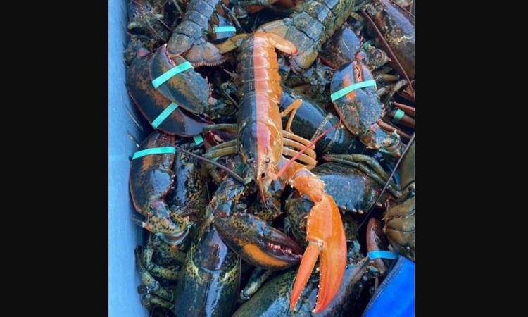 Con tôm hùm được thả về biển do kích thước nhỏ. Ảnh: Pêcheries Desbois.