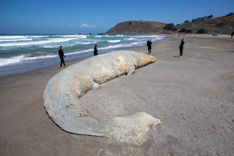 Những người lướt sóng xem xác cá voi chết trên bãi biển Pacifica State. Ảnh: Karl Mondon.