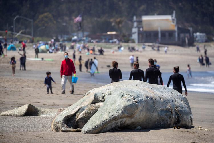 Cá voi xám chết dạt vào bãi biển Pacifica State hôm 21/5. Ảnh: Karl Mondon.
