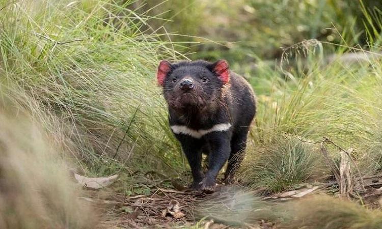 Quỷ Tasmania đang sinh sản và phát triển tốt ở khu bảo tồn tại Barrington Tops. Ảnh: Aussie Ark.