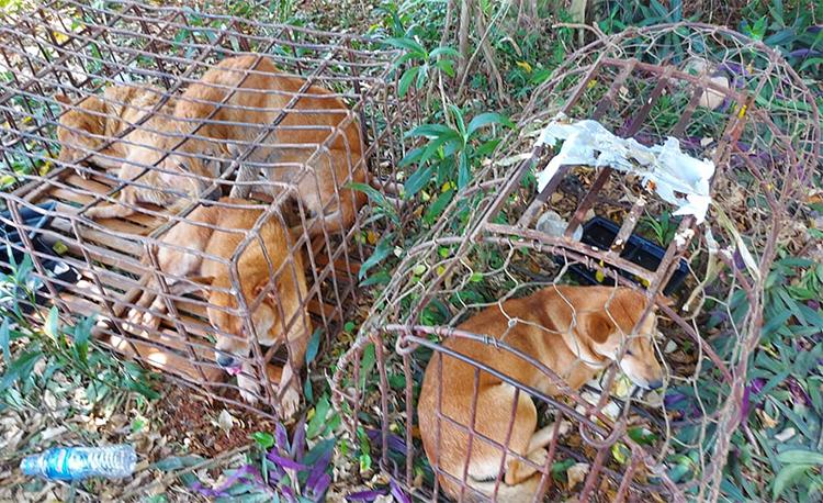 Số chó mà nhóm tội phạm đã bắt trộm. Ảnh: Đức Nguyễn