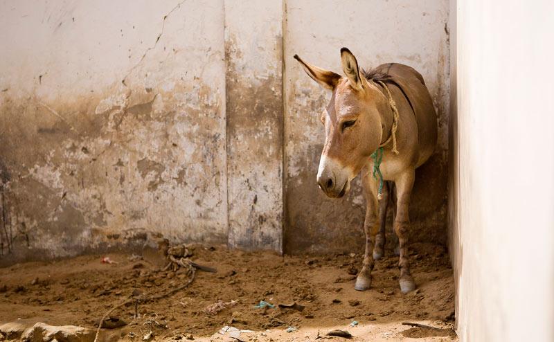 Một con lừa được giải cứu tại lò mổ trái phép trong tình trạng bị bỏ đói khát  10 ngày: Ảnh: Horsetalk