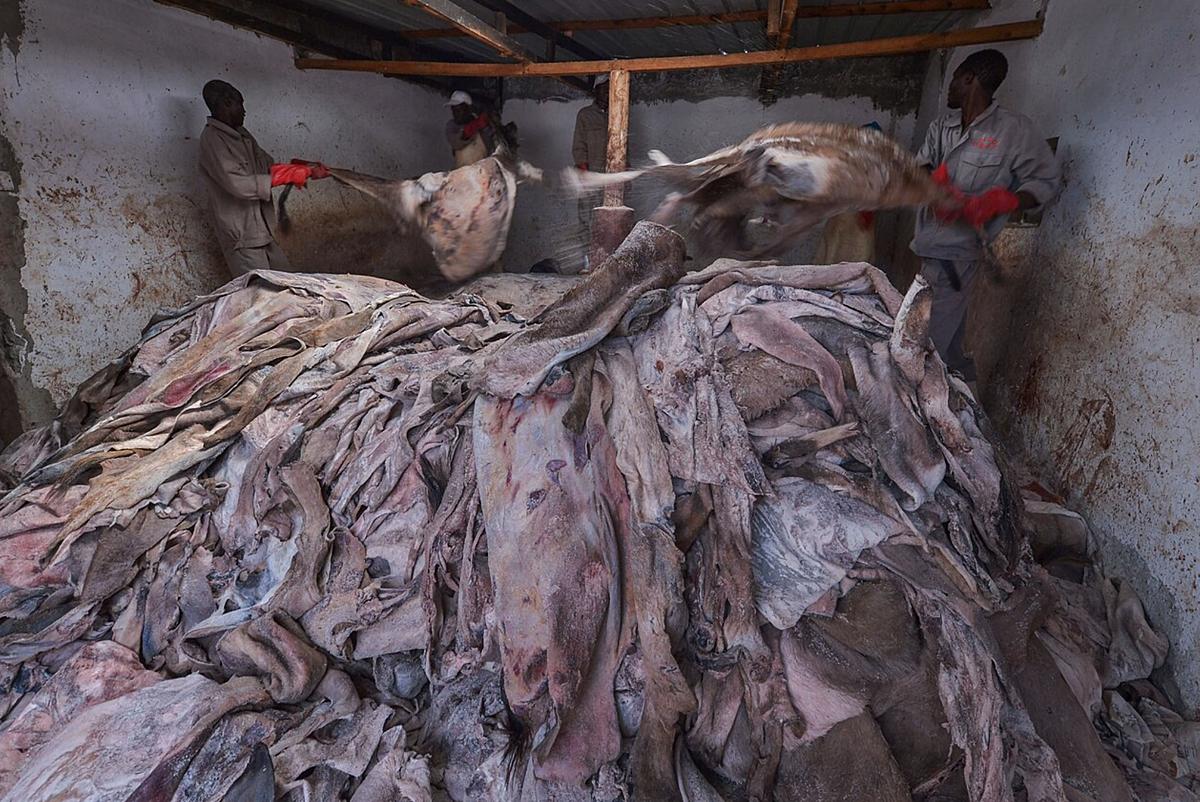 Các nhân viên một lò mổ ở Kenya lột da lừa. Ảnh: AFP