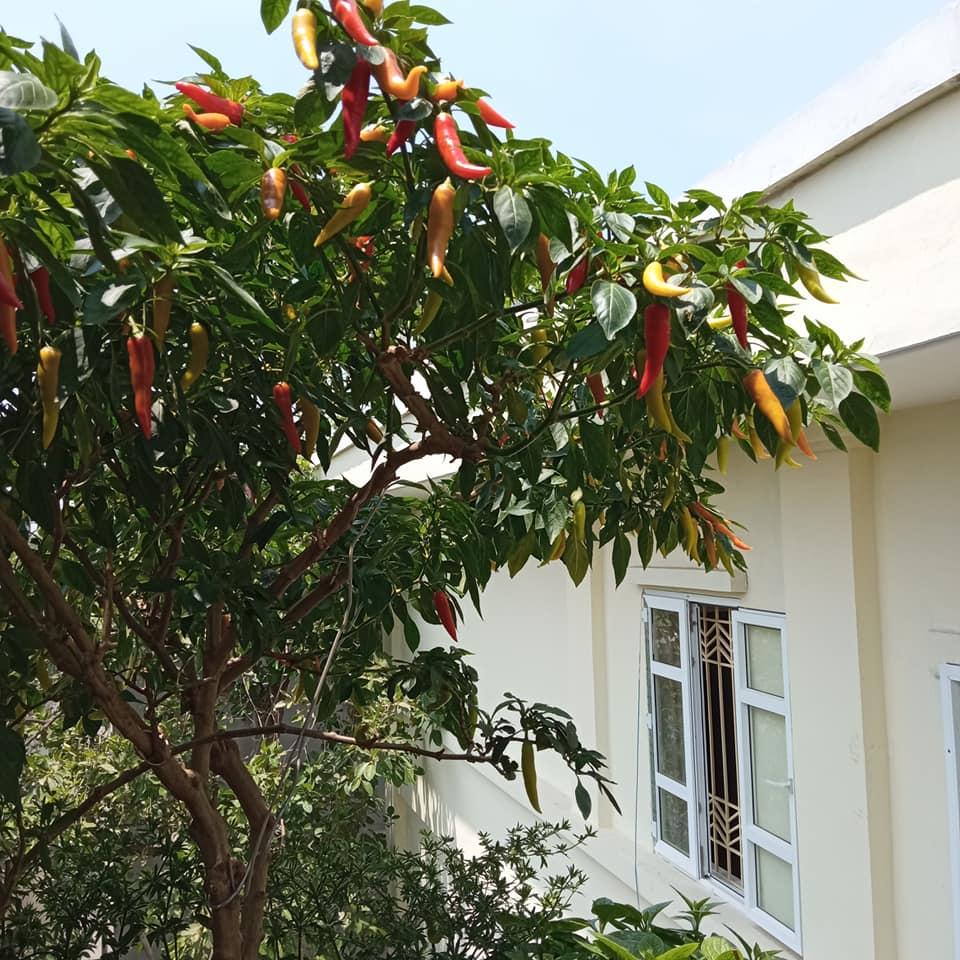 Phát cuồng vì cây ớt đẹp mê hồn - 3