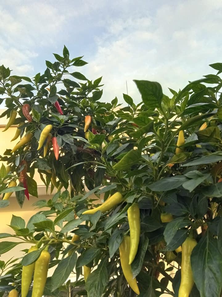 Phát cuồng vì cây ớt đẹp mê hồn - 4