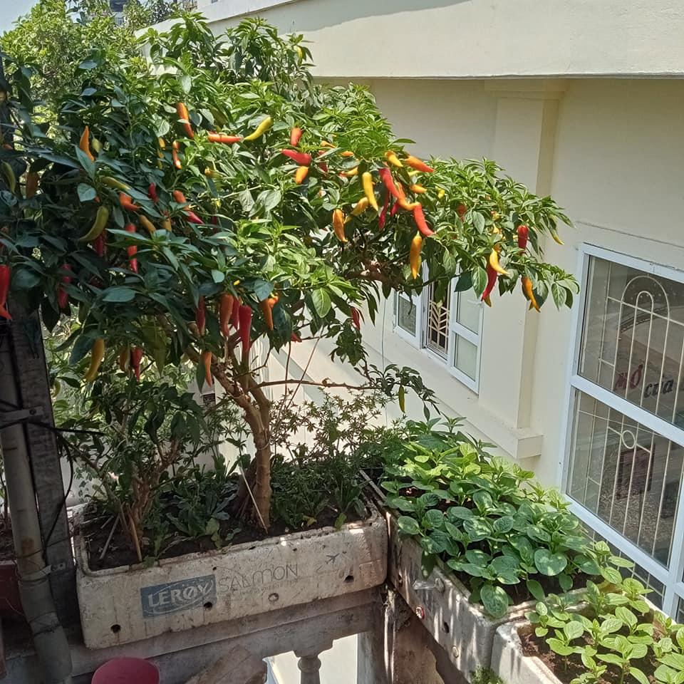 Phát cuồng vì cây ớt đẹp mê hồn - 5