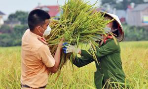 Công an gặt lúa giúp dân ở tâm dịch