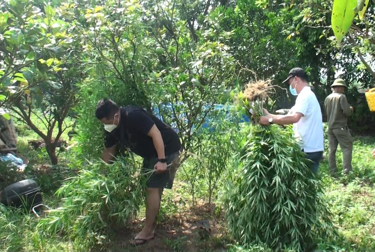 Nhà chức trách thu giữ cây cần sa trồng xen canh. Ảnh: Công an cung cấp.