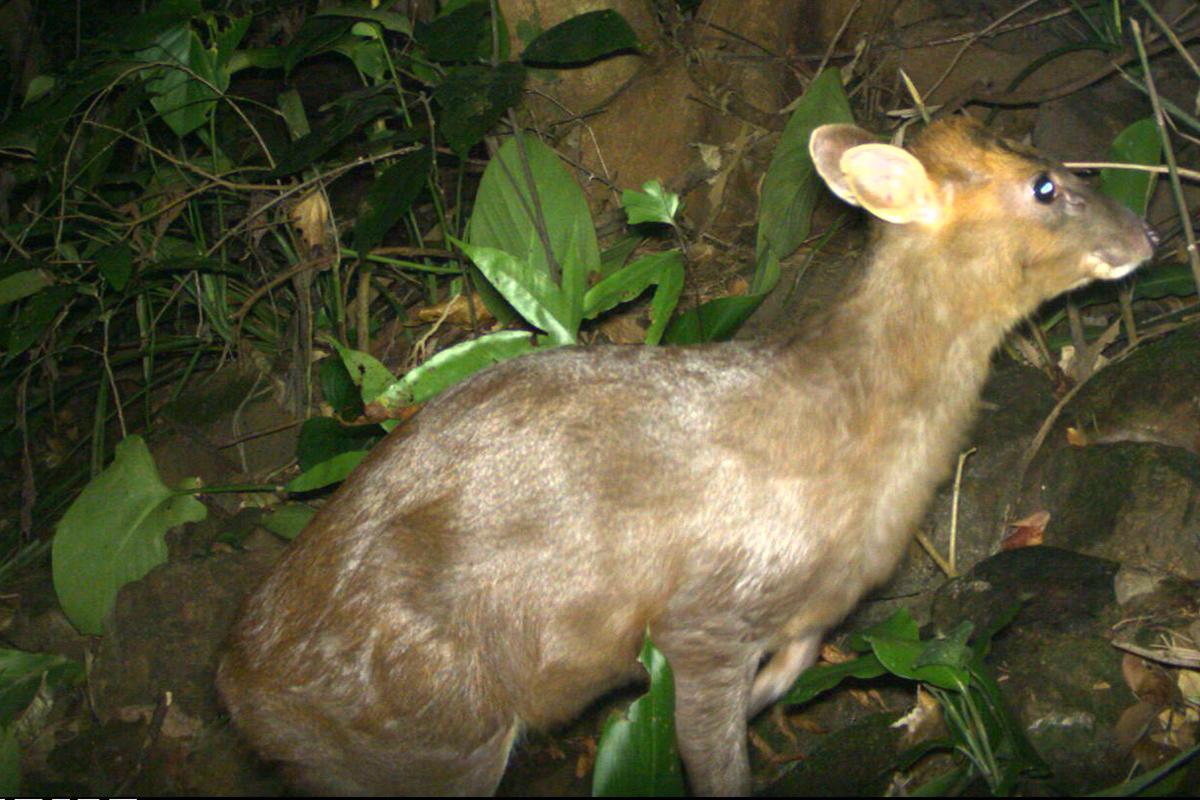 Hình ảnh Mang Trường Sơn bẫy ảnh chụp lại được. Ảnh Khu bảo tồn thiên nhiên Phong Điền.