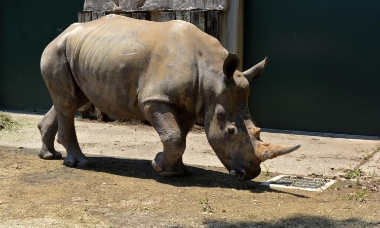 Tê giác cái Emma tại vườn thú Saitama Tobu, Nhật Bản, hôm 9/6. Ảnh: AFP.
