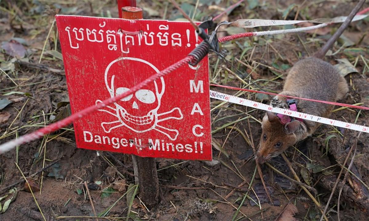 Một con chuột túi khổng lồ châu Phi dò mìn tại tỉnh Preah Vihear của Campuchia ngày 11/6. Ảnh: Reuters.