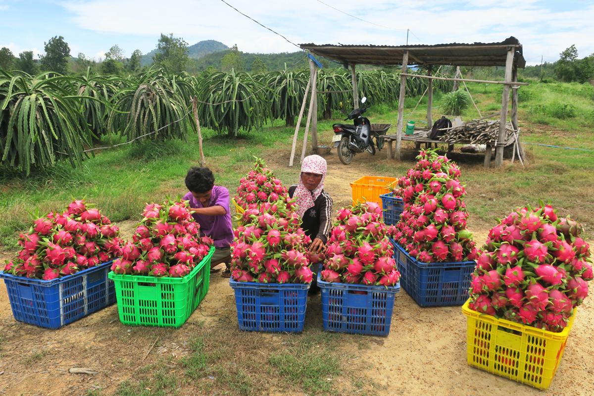 Chị Lê Thị Điệp cùng con trai thu hoạch thanh long bán với giá 3.000 đồng một ký trưa 11/6. Ảnh: Việt Quốc