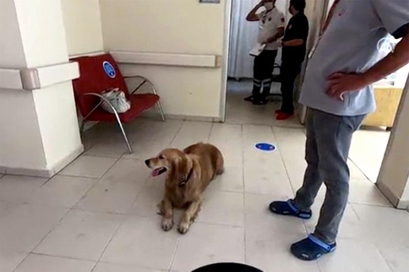 Con chó chăn cừu lông vàng nằm chờ ở bệnh viện trên đảo Buyukada để đoàn tụ với chủ nhân hôm 9/6. Ảnh: Anadolu.