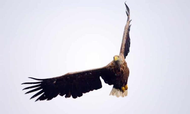 Đại bàng đuôi trắng xuất hiện ở khu bảo tồn Hồ Lomond sau một thế kỷ. Ảnh: Lorne Gill/NatureScot/PA.