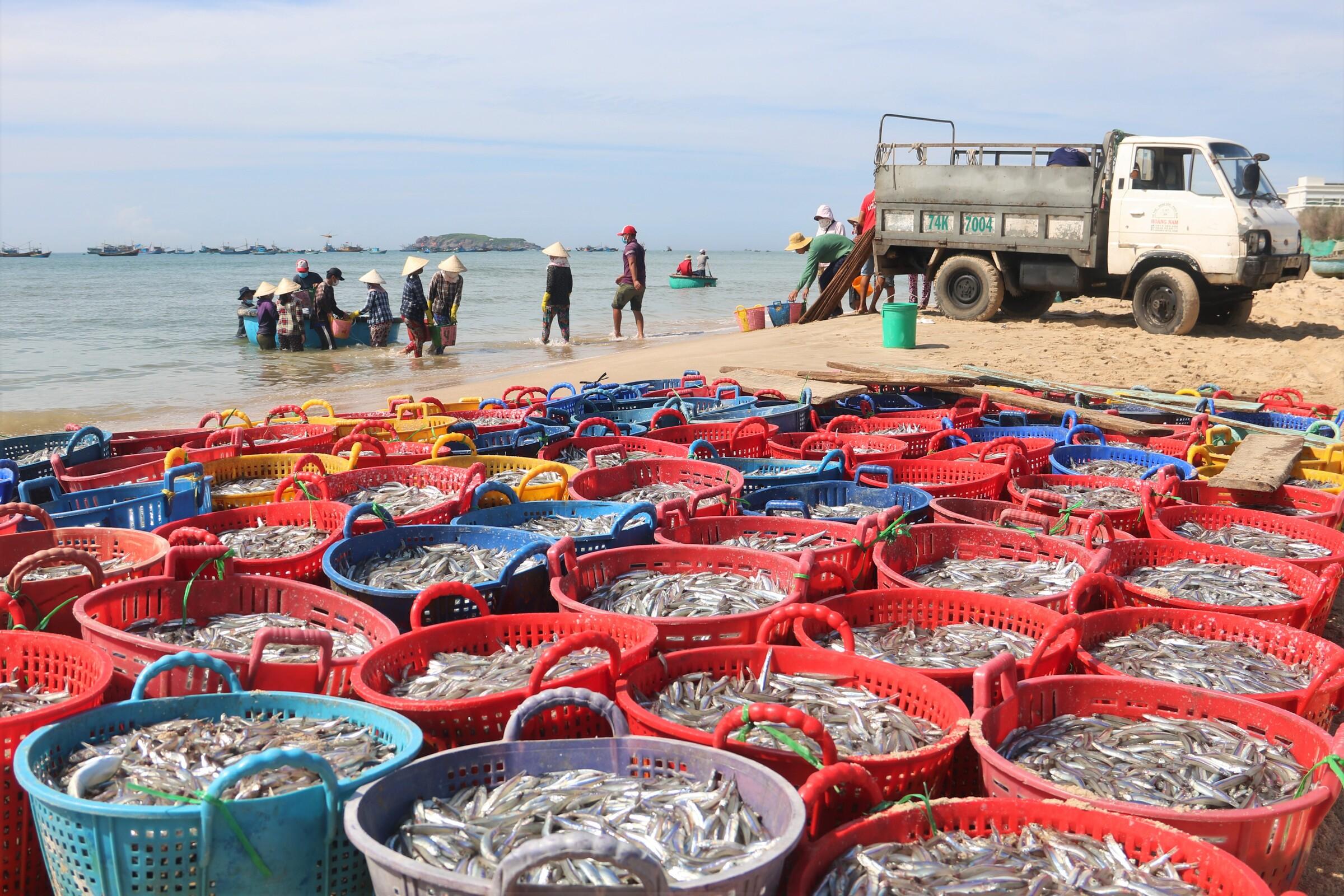 Cá cơm được ngư dân Mũi Né đưa vào bờ chuẩn bị bán, sáng 14/6. Ảnh: Việt Quốc.