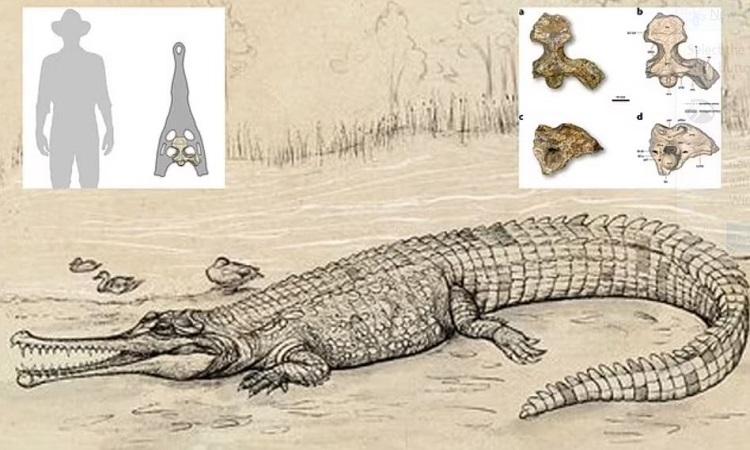 HÌnh dáng của cá sấu Gunggamarandu maunala dựa trên xương hộp sọ hóa thạch. Ảnh: Eleanor Pease.