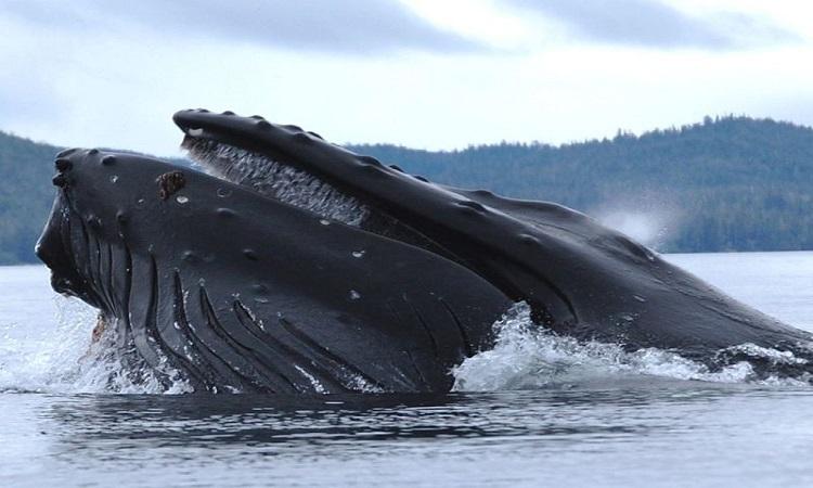 Cá voi lưng gù thuộc nhóm cá voi tấm sừng. Ảnh: Wikipedia.