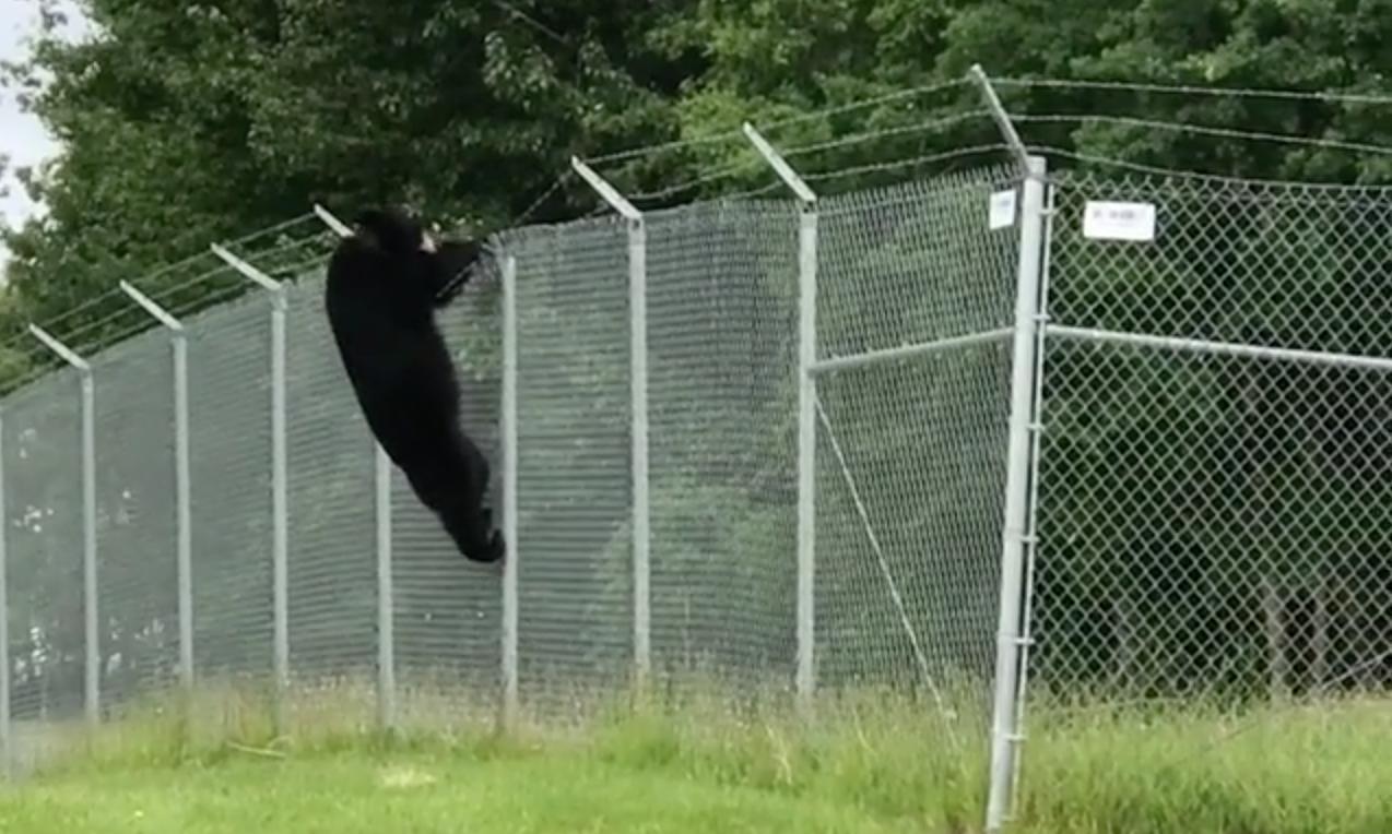 Một con gấu đen trèo qua hàng rào sân bay ở Anchorage, Alaska tháng 8/2018. Ảnh: DailyMail.