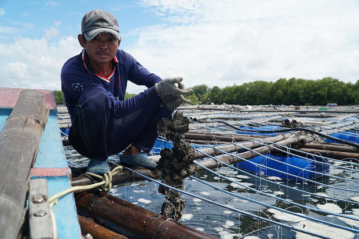 Người làm công cho ông Nhất kéo dây hàu Thái Bình Dương nuôi 5 tháng lên khỏi giàn. Ảnh: Trường Hà.