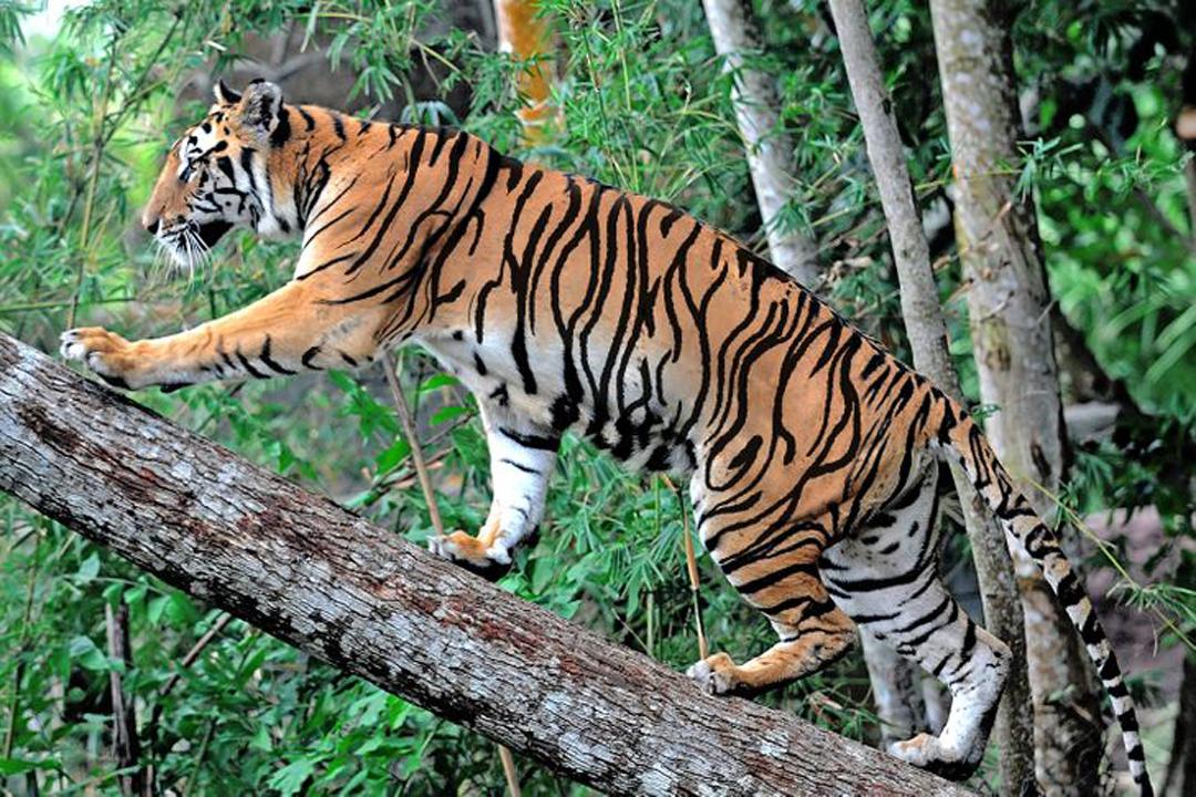 Bạn có phát hiện ra con hổ ẩn?