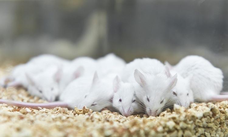 Thí nghiệm cho ra đời 10 con chuột non khỏe mạnh. Ảnh: iStock.
