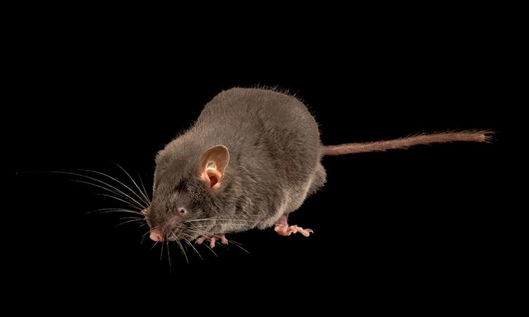 Một mẫu vật chuột sóc lùn Trung Quốc ở sở thú Moskva. Ảnh: Joel Sartore.