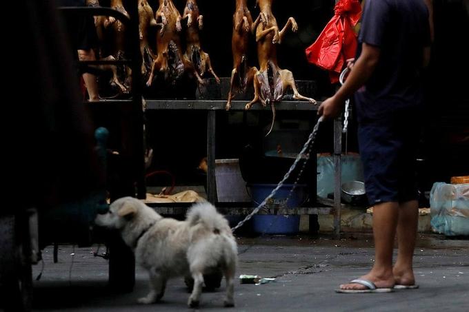 Một người dẫn chó đến lễ hội thịt chó Ngọc Lâm hồi tháng 6/2018. Ảnh: Reuters