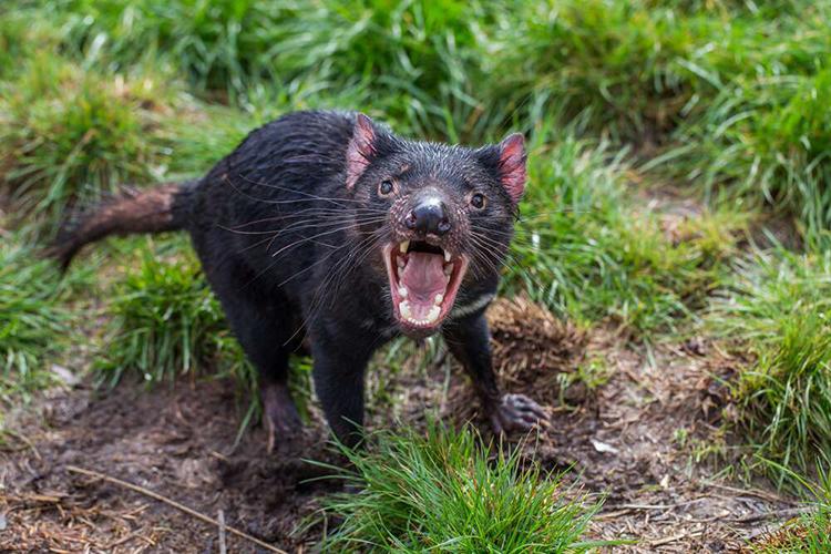 Quỷ Tasmania là loài thú có túi ăn thịt lớn nhất thế giới. Ảnh: Sander Groffen.
