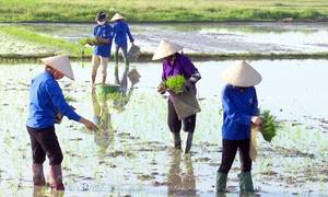 Thanh niên cấy lúa giúp dân cách ly