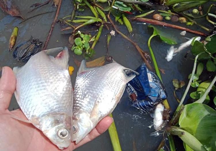 Cá chết được người dân huyện Phong Điền vớt lên. Ảnh: Hưng Lợi